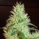 White Widow (Homegrown Fantaseeds) feminizada