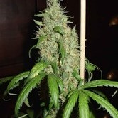 Skunk 1 (Homegrown Fantaseeds) feminizada