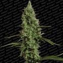 Atomical Haze (Paradise Seeds) feminizada