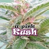 U-Pink Kush (Dr. Underground) feminizada