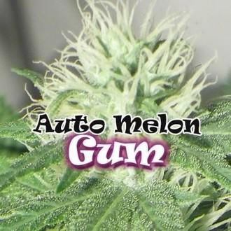 Auto Melon Gum (Dr. Underground) feminizada