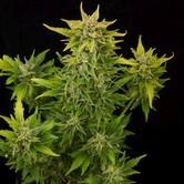 Fruit Autoflowering (Dinafem) feminizada