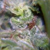 Nev. Haze (Female Seeds) feminizada