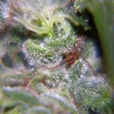 Nev. Haze (Female Seeds) feminizada