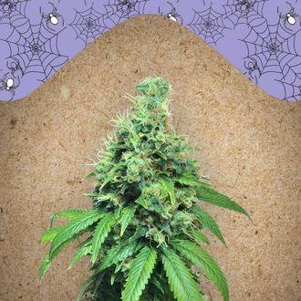 White Widow x Big Bud (Female Seeds) feminizada