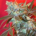 Iced Widow (Female Seeds) feminizada