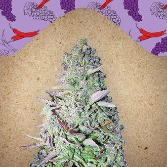 Purple Maroc (Female Seeds) feminizada
