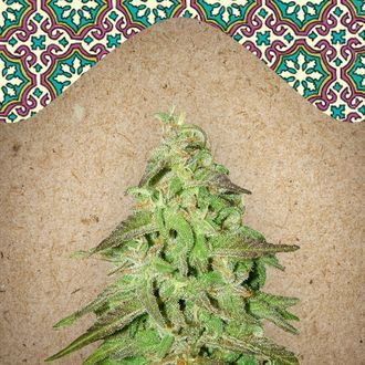 Maroc (Female Seeds) feminizada
