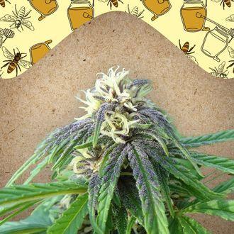 Easy Sativa (Female Seeds) feminizada
