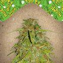 Auto Speed Bud (Female Seeds) feminizada