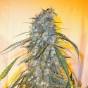 Annapurna SuperAuto (Flash Auto Seeds) feminizada