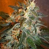 Cobra Auto (Flash Auto Seeds) feminizada