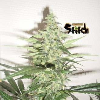 Diesel Haze Auto (Flash Auto Seeds) feminizada