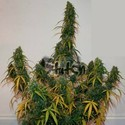 Formula One Auto (Flash Auto Seeds) feminizada