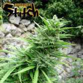 Muay Thai SuperAuto (Flash Auto Seeds) feminizada