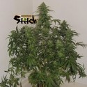 Russian Fuel Auto (Flash Auto Seeds) feminizada