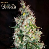 Russian Haze Auto (Flash Auto Seeds) feminizada