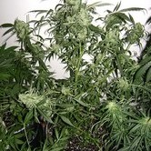 Santa Auto (Flash Auto Seeds) feminizada