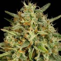 Strawberry Amnesia (Dinafem) feminizada