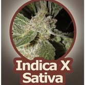 White Panther (John Sinclair Seeds) feminizada