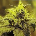 A-1 Haze (Sagarmatha Seeds) feminizada