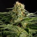 California Hash Plant (Dinafem) feminizada