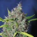 Blueberry Bud (Sagarmatha Seeds) feminizada