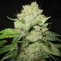 Cal-Train Wreck (Sagarmatha Seeds) feminizada