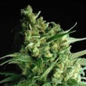 Double Bubble Berry (Sagarmatha Seeds) feminizada