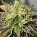 Double Diesel Ryder (Sagarmatha Seeds) feminizada