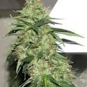 Indica XXL (Sagarmatha Seeds) feminizada