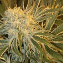 Northern Lights 9 (Sagarmatha Seeds) feminizada