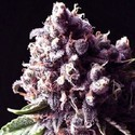 Purple Pinecone (Sagarmatha Seeds) feminizada