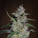 China Yunnan (ACE Seeds) feminizada