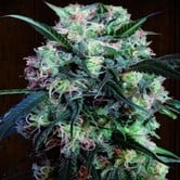 Kali China (ACE Seeds) feminizada