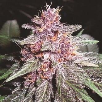 Violeta (ACE Seeds) feminizada