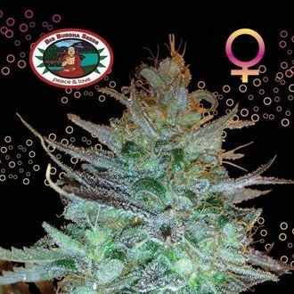 Sour Chiesel (Big Buddha Seeds) feminizada
