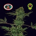Big Buddha Cheese Automatic (Big Buddha Seeds) feminizada