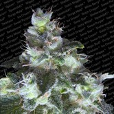 Original White Widow (Paradise Seeds) feminizada