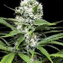 Lemon Ice (Ripper Seeds) feminizada