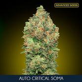 Auto Critical Soma (Advanced Seeds) feminizada
