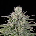 UK Cheese Auto (Humboldt Seeds) feminizada