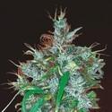 Panama Haze (ACE Seeds) feminizada