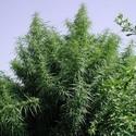 Tropical Mix (ACE Seeds) feminizada