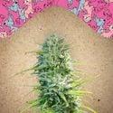 SexBud (Female Seeds) feminizada