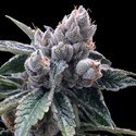 White Walker Kush (Grow Your Own Collection) feminizada