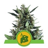 Blue Cheese Automatic (Royal Queen Seeds) feminizada