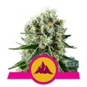 Critical Kush (Royal Queen Seeds) feminizada