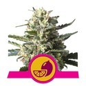 Lemon Shining Silver Haze (Royal Queen Seeds) feminizada