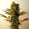 Hammershark (Resin Seeds) feminizada